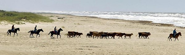 Cattle are rounded up  before hurricane season starts. : Beach Cowboys : Austin, Texas Photographer | editorial, commercial, sports, music, news, portrait